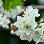 cebela_pomlad2