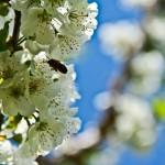 cebela_pomlad5