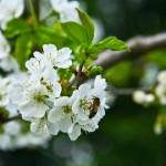 cebela_pomlad7