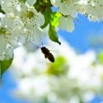 cebela_pomlad