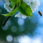 cebela_pomlad3