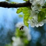 cebela_pomlad4