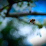 cebela_pomlad6